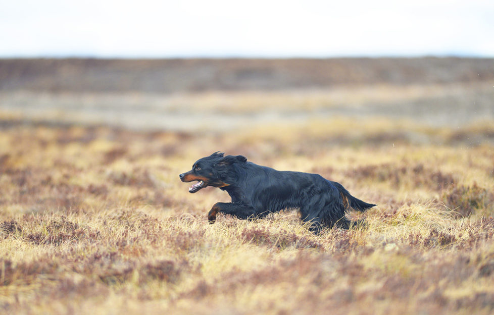 Kennel Club's Vulnerable Working Dog Breeds - Scottish Field